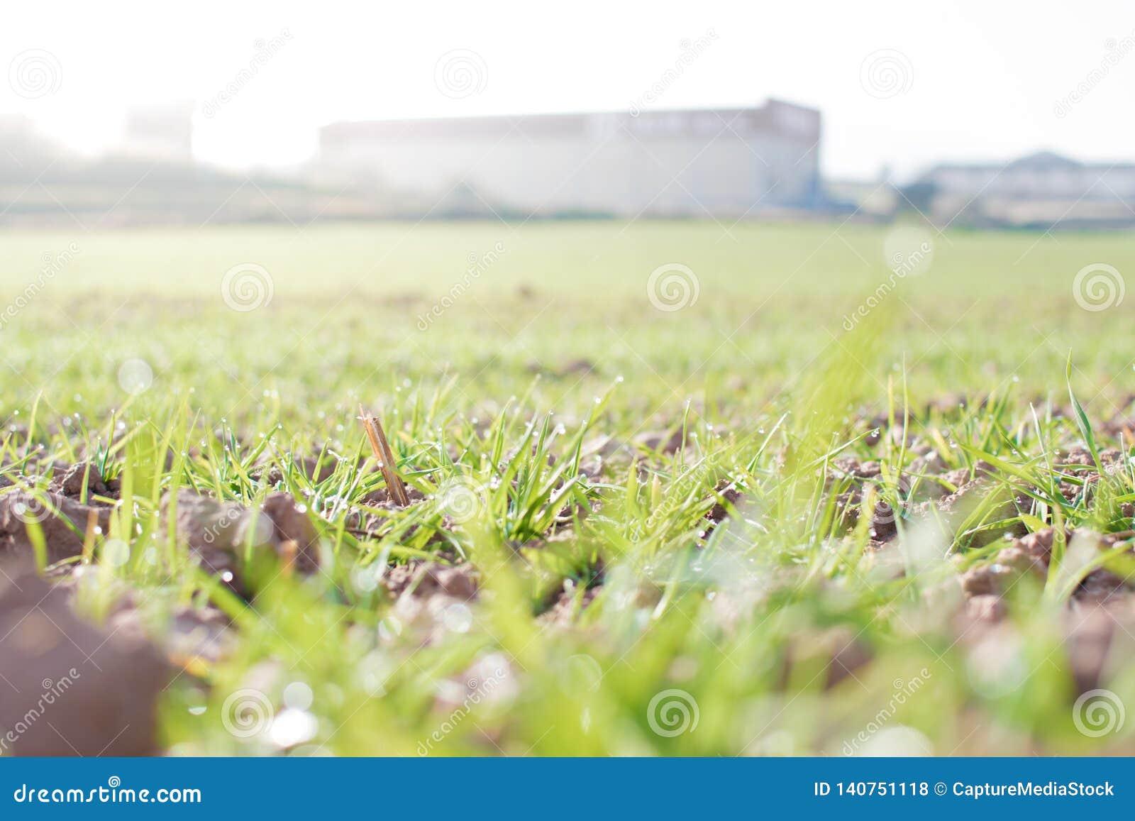 Landbouwgrond en de industrieënachtergrond Spruiten van tarwe bij gewassen