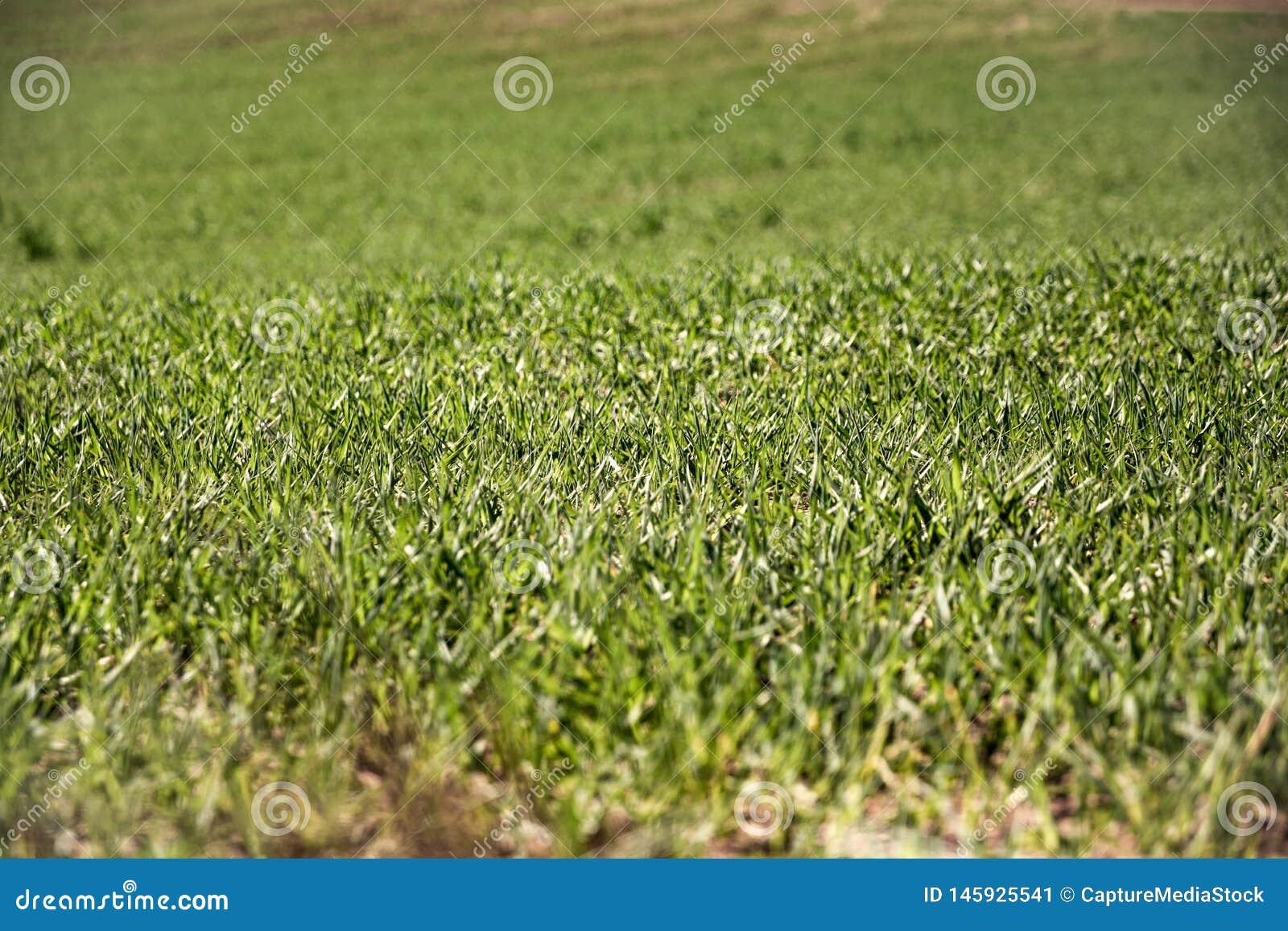 Landbouwgrond en de industrie?nachtergrond Spruiten van tarwe bij gewassen