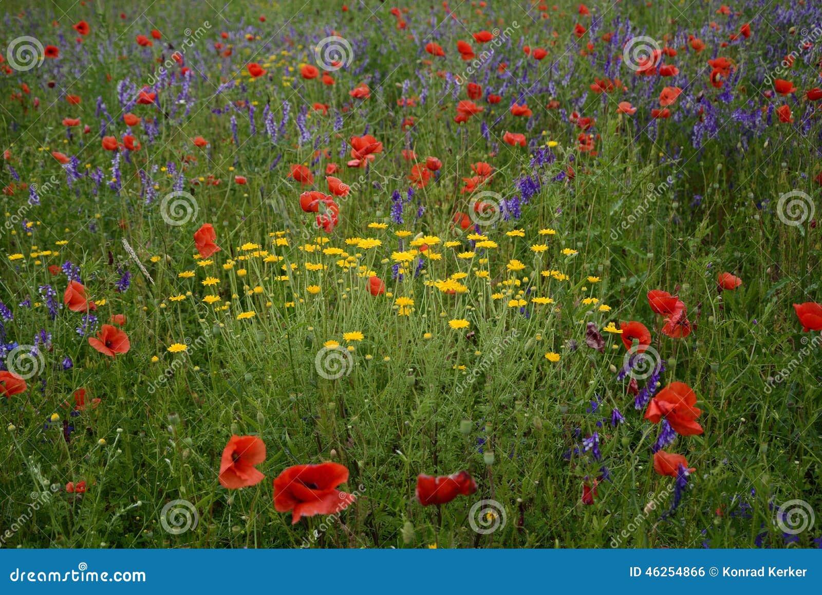 Landelijk landschap - lavendel en rode papavers