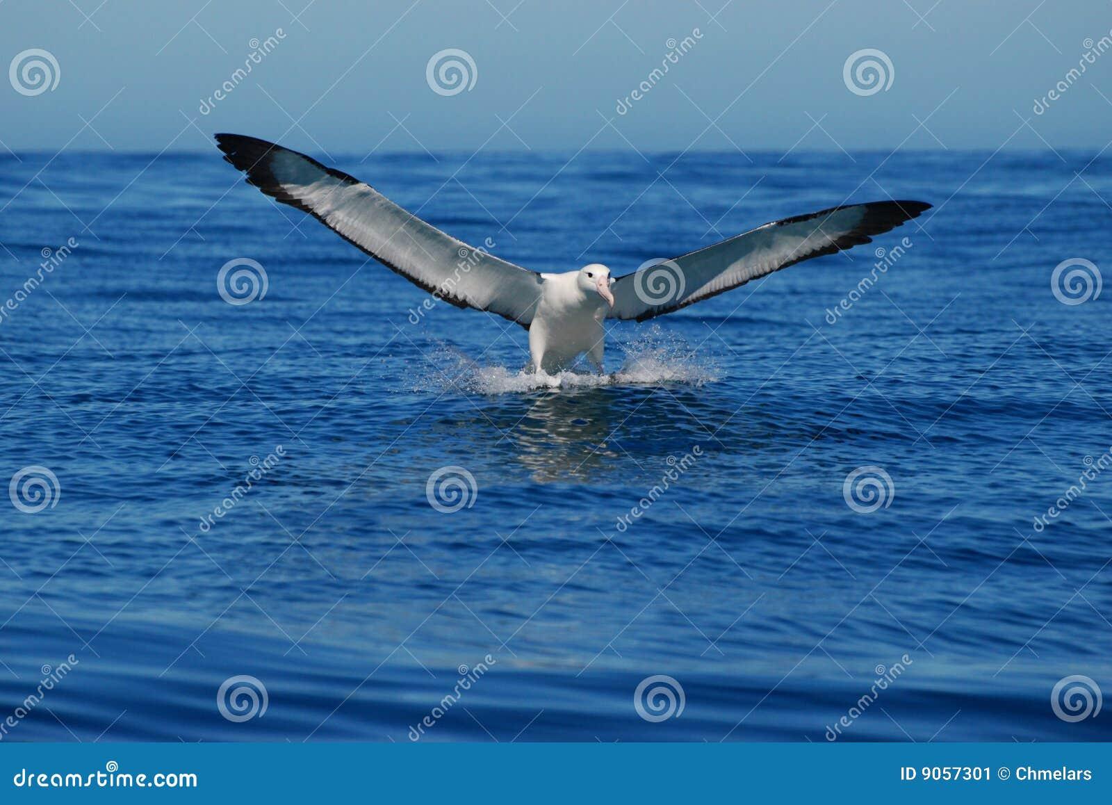 Landing Albatross- Front