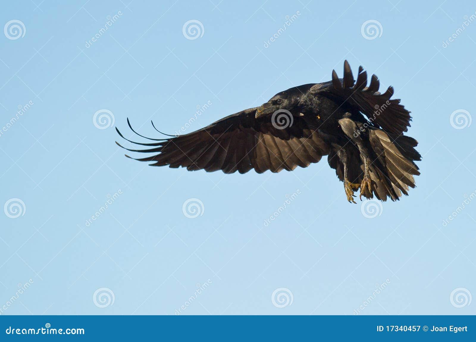 A landing Common Raven
