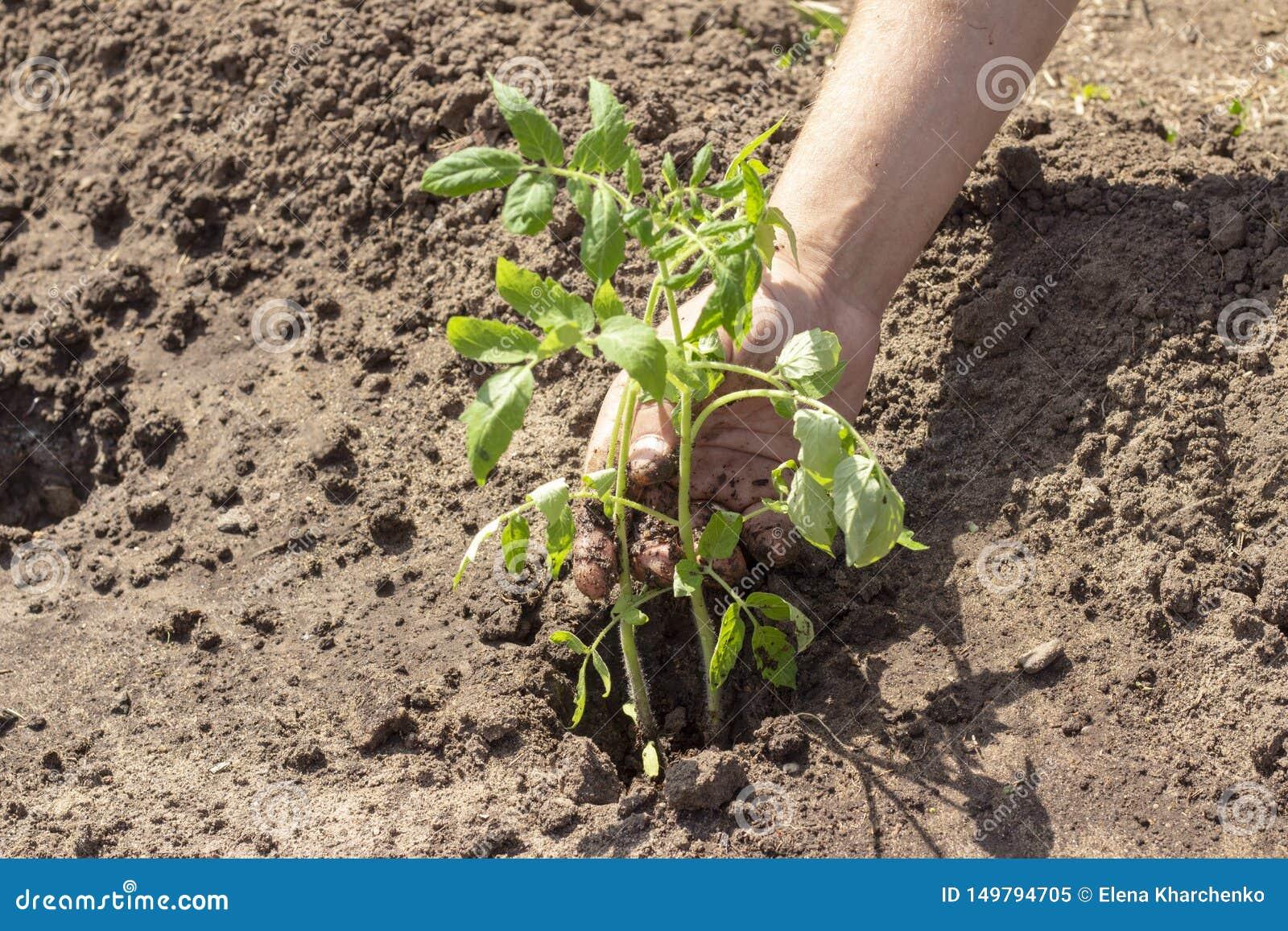 Landning i jordväxter av tomatgroddar fjädrar plantor för solig dag för sommar