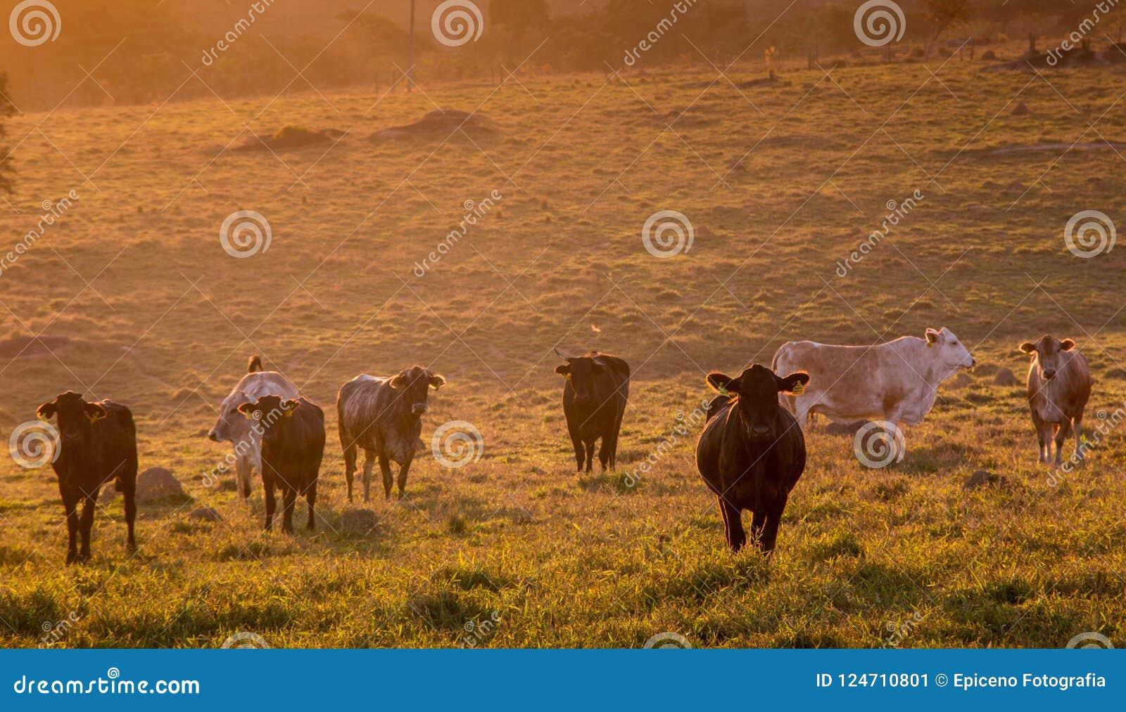 Landsbygd med gräs matat nötkreatur på soluppgång
