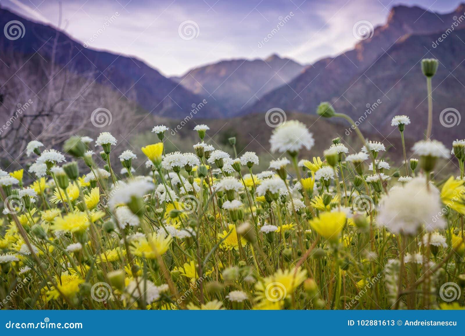 Landscape in Anza Borrego Desert State Park during a spring super bloom, California