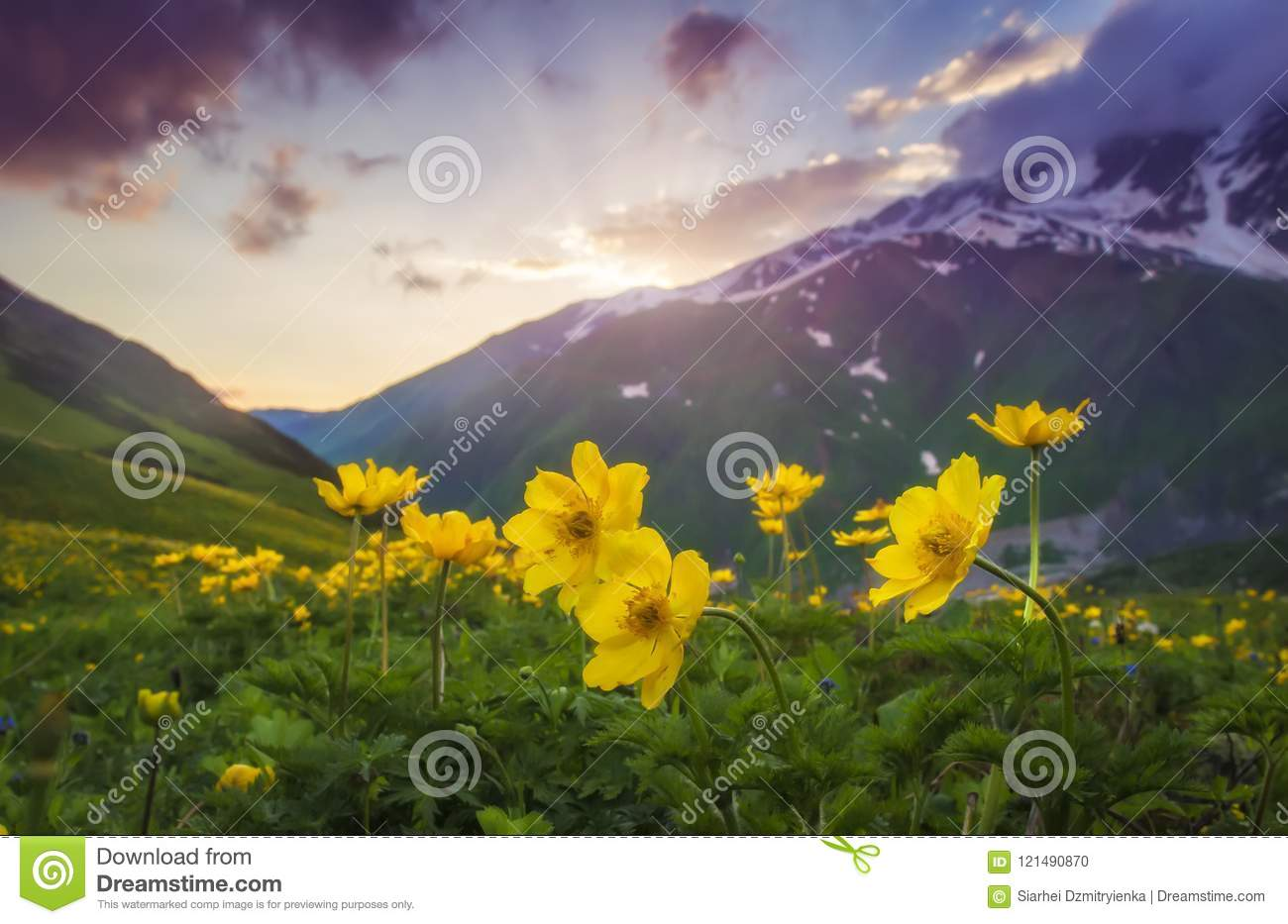 Landscape of beautiful mountains at sunset. Yellow flowers on foreground on mountain meadow on evening sky and hills background