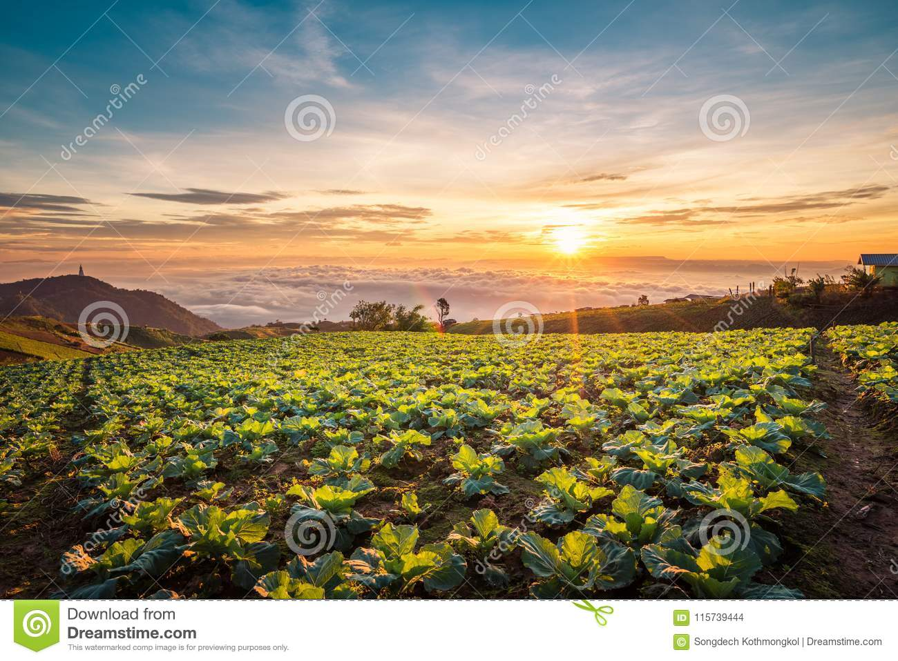 The Scene of Thailand about Big Cabbage farm on the mountain, Ph