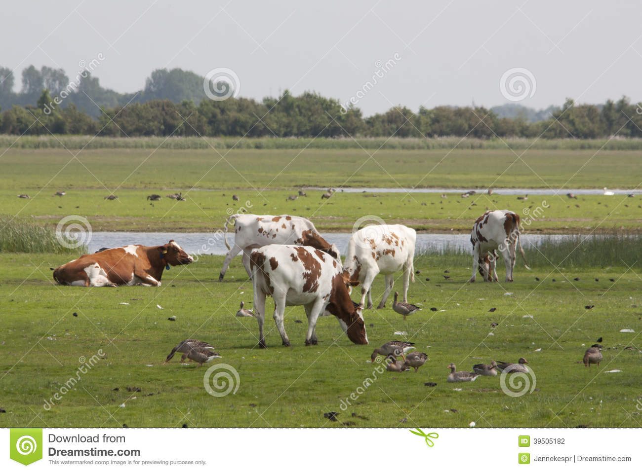 Landscape with cows and geese
