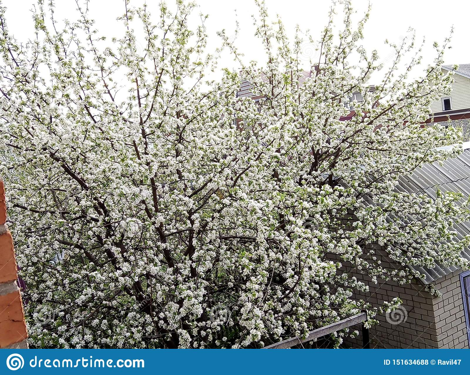 Landscape with flowering Apple tree