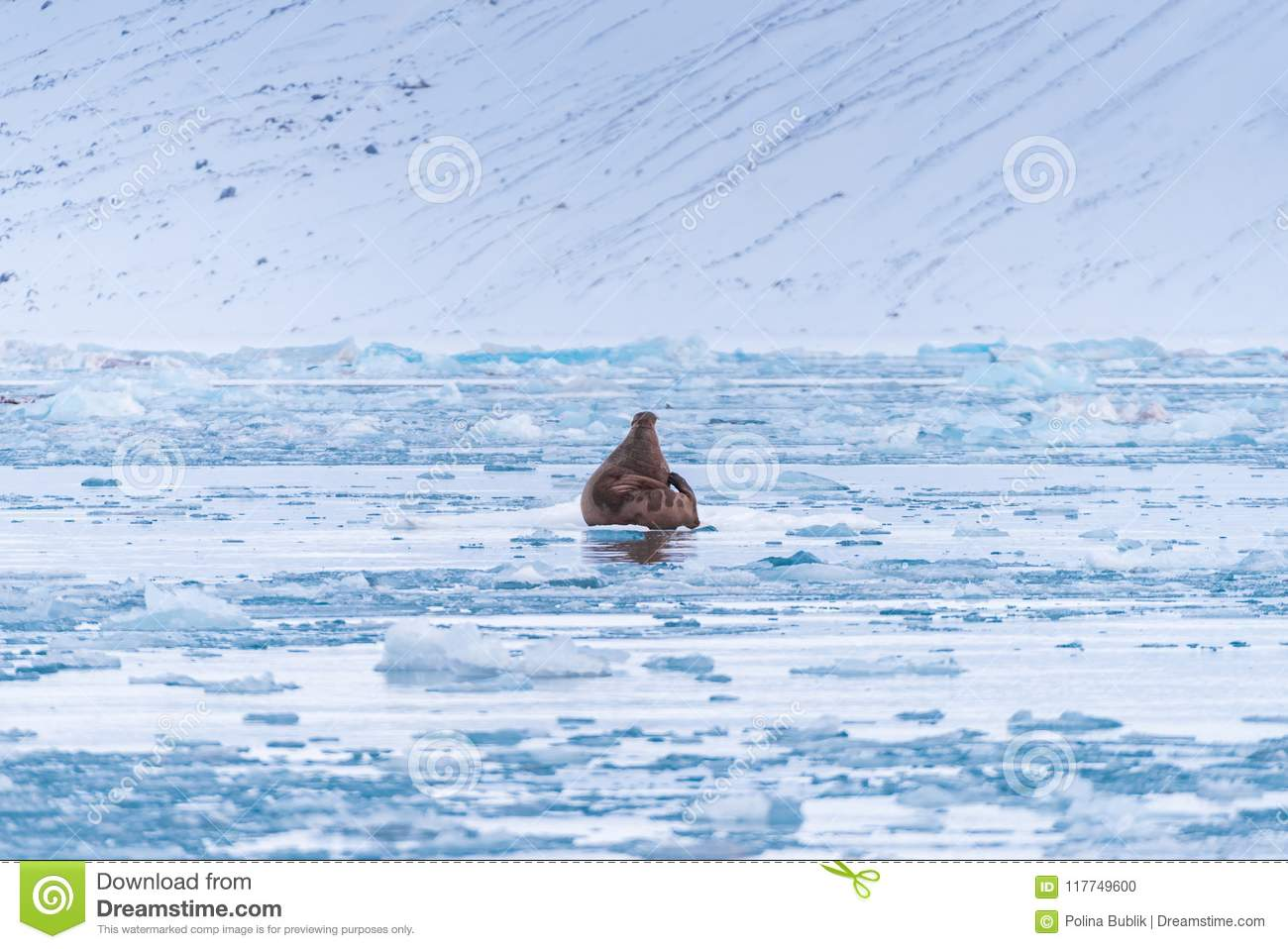 Landscape nature walrus on an ice floe of Spitsbergen Longyearbyen Svalbard arctic winter sunshine day