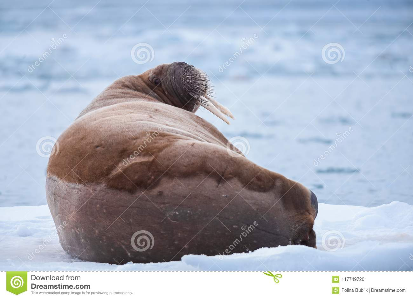 Landscape nature walrus on an ice floe of Spitsbergen Longyearbyen Svalbard arctic winter sunshine day