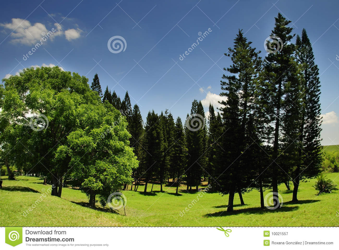 Landscape With Pine Trees Royalty Free Stock Photography - Image ...