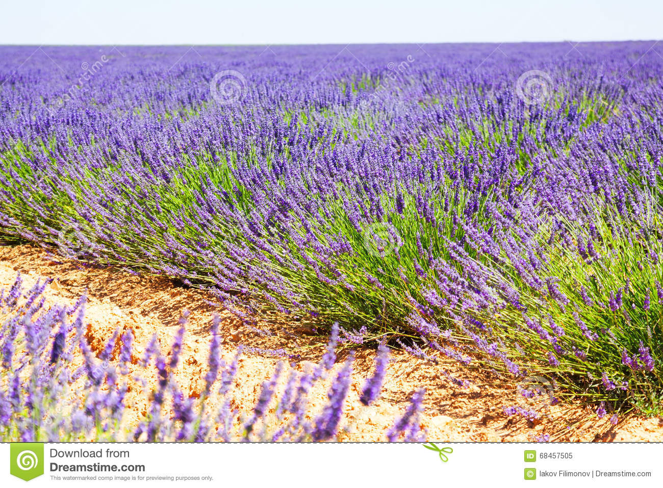 Landscape with plant of blue lavender