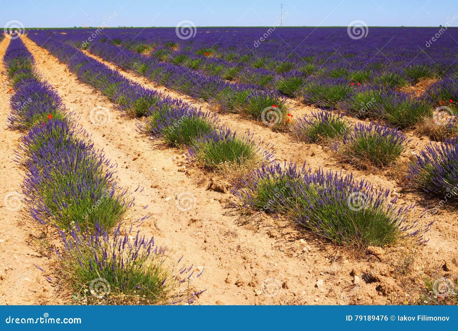 Landscape with plant of lavender