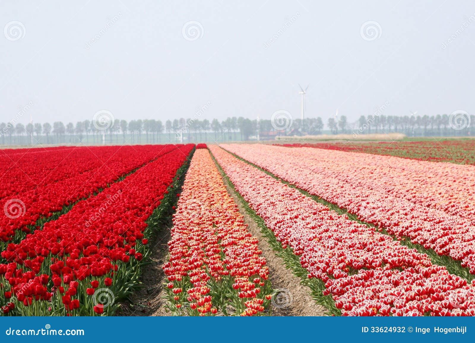 Red Landscape In The Noordoostpolder In Spring,Netherlands Stock ...: dreamstime.com/stock-photography-landscape-polder-blooming-tulips...
