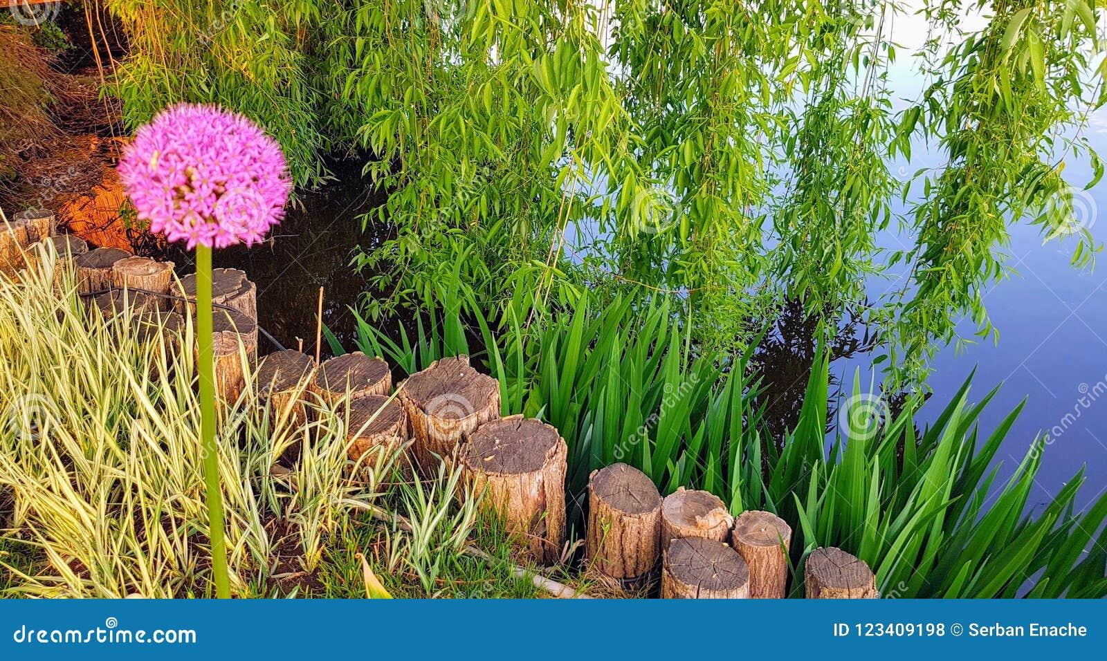 Pink allium landscape