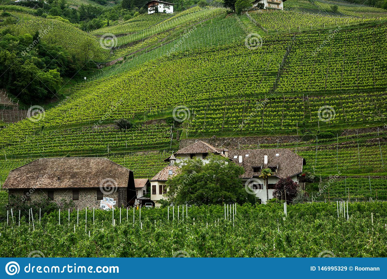 Landscape Of Vineyard In Italy  Spring Landscape With Green