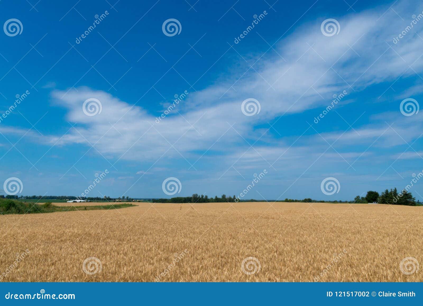 Landschaft des reifen Getreidefelds mit blauem Himmel und des whitespace für tex