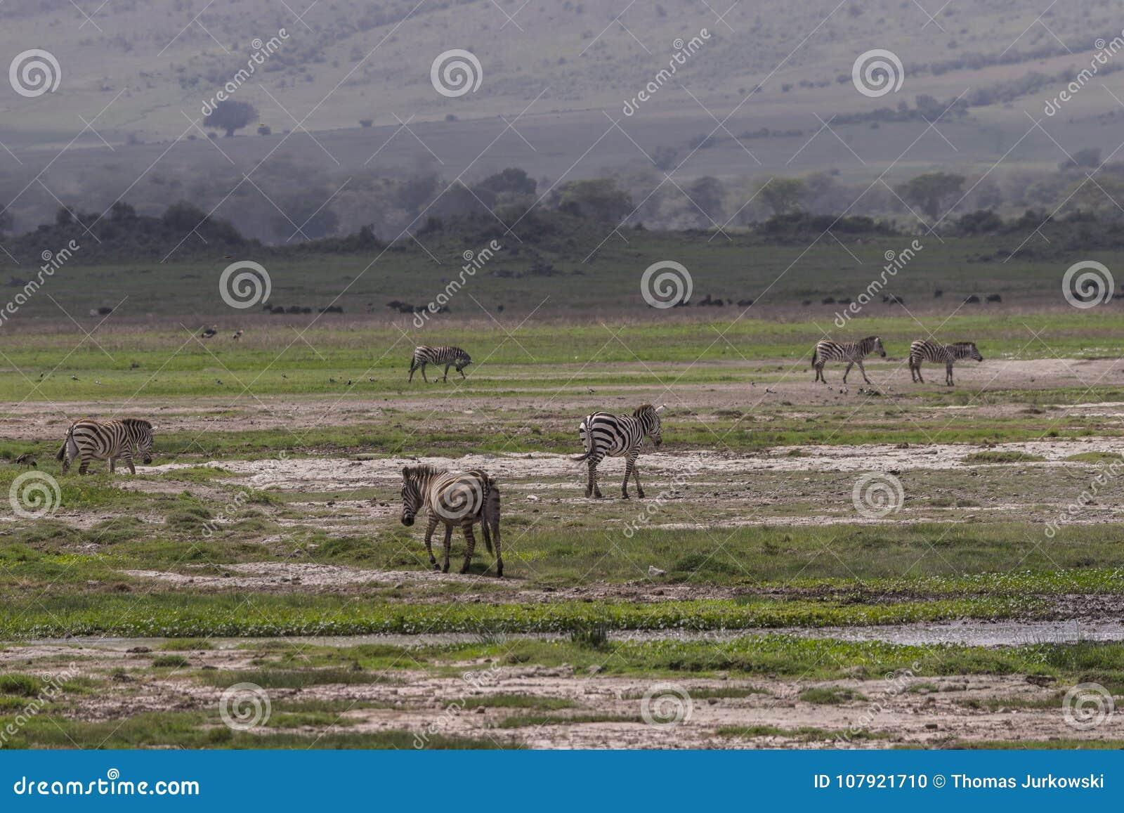 Landschaften mit Zebras