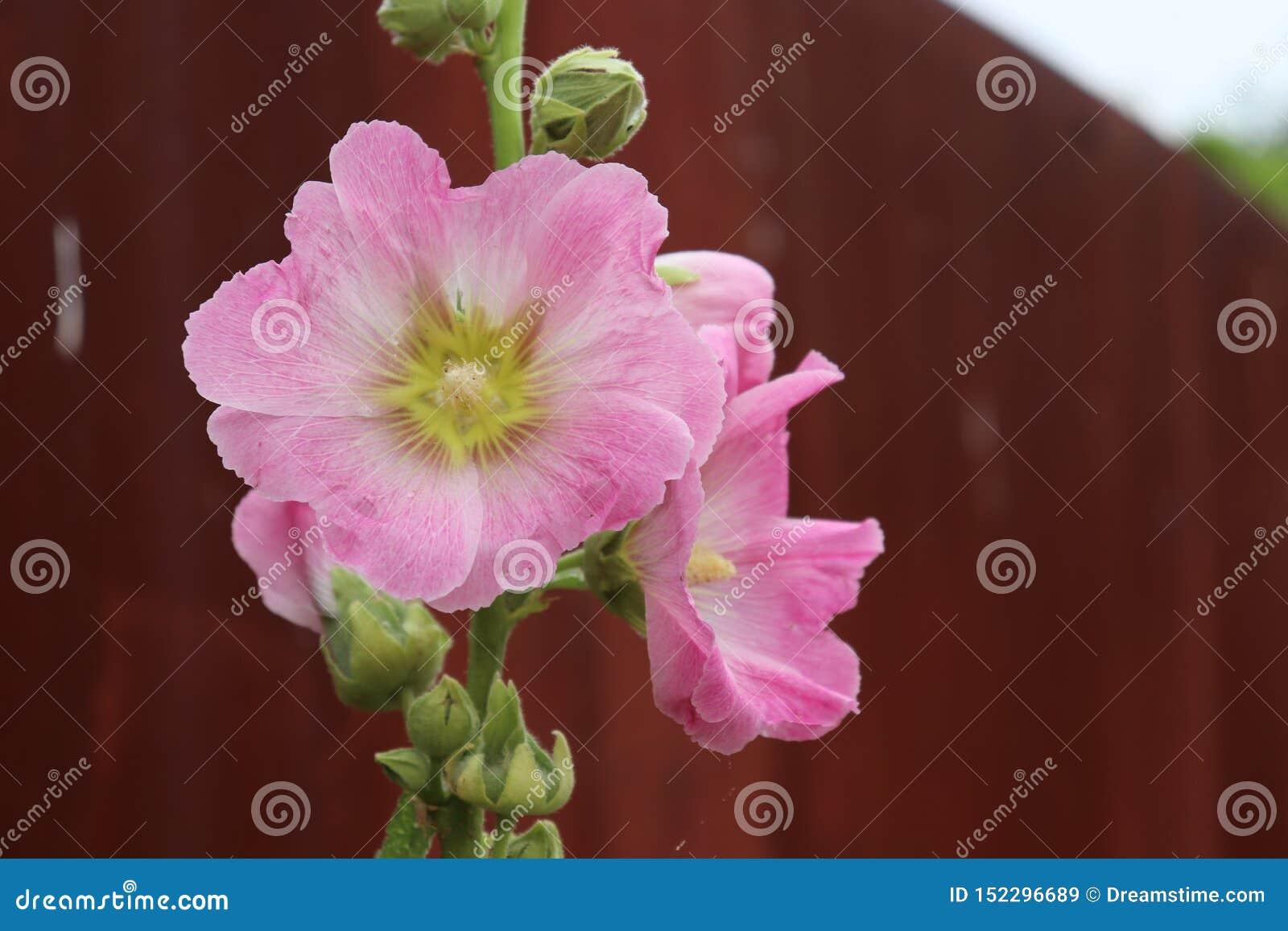 Landschaftnatürliche Wildflowers blühen rosa Dorf