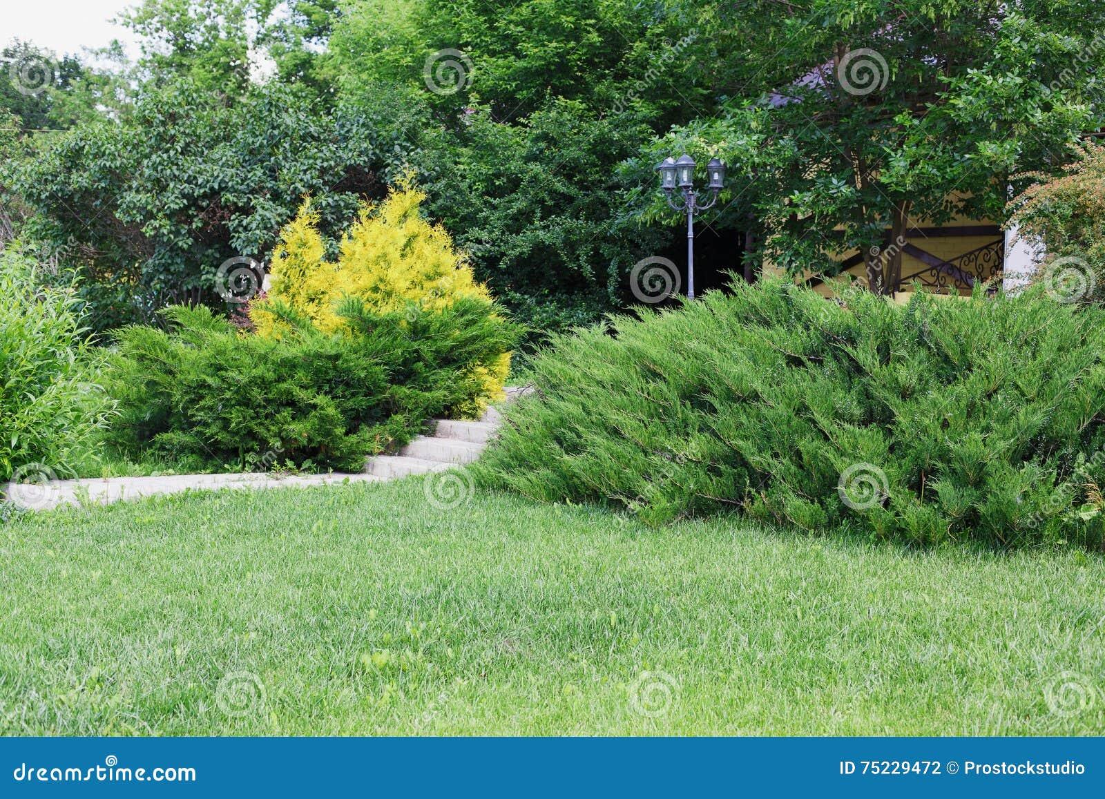 Elegant Immergrüne Büsche