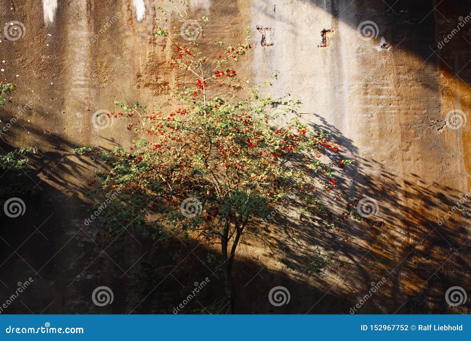 Landschaftspark Duisburg, Alemanha: Árvore isolada com as bagas vermelhas em um brilho abandonado do túnel brilhante na luz solar