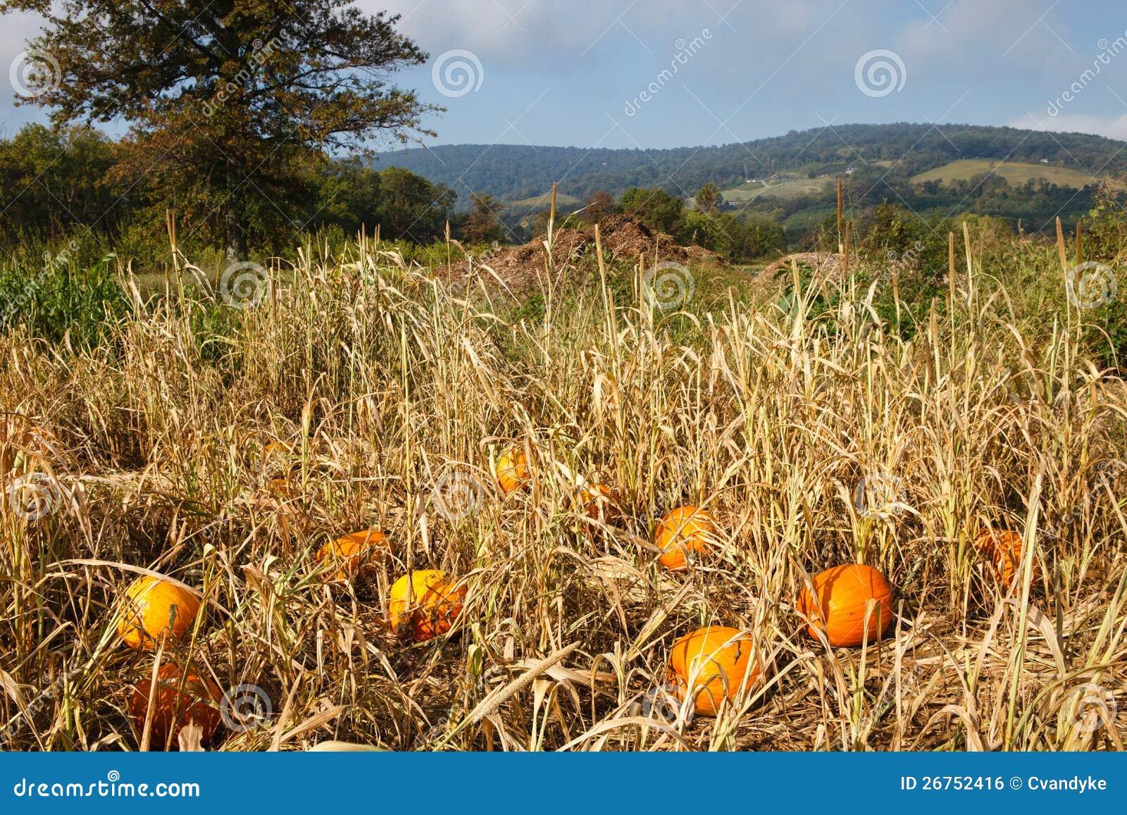 Landschaftsvirginia-Feld mit zerstreuten Kürbisen