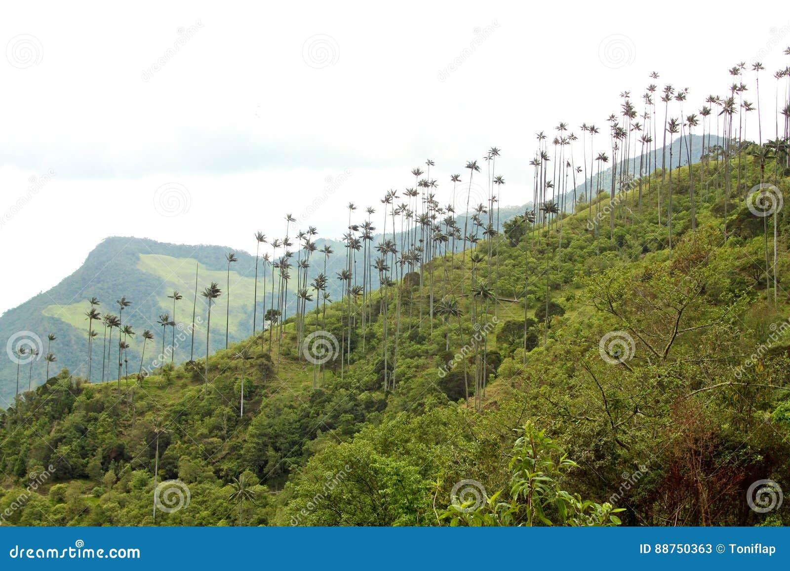 Landschap in de Cocora-Vallei met waspalm, tussen mounta