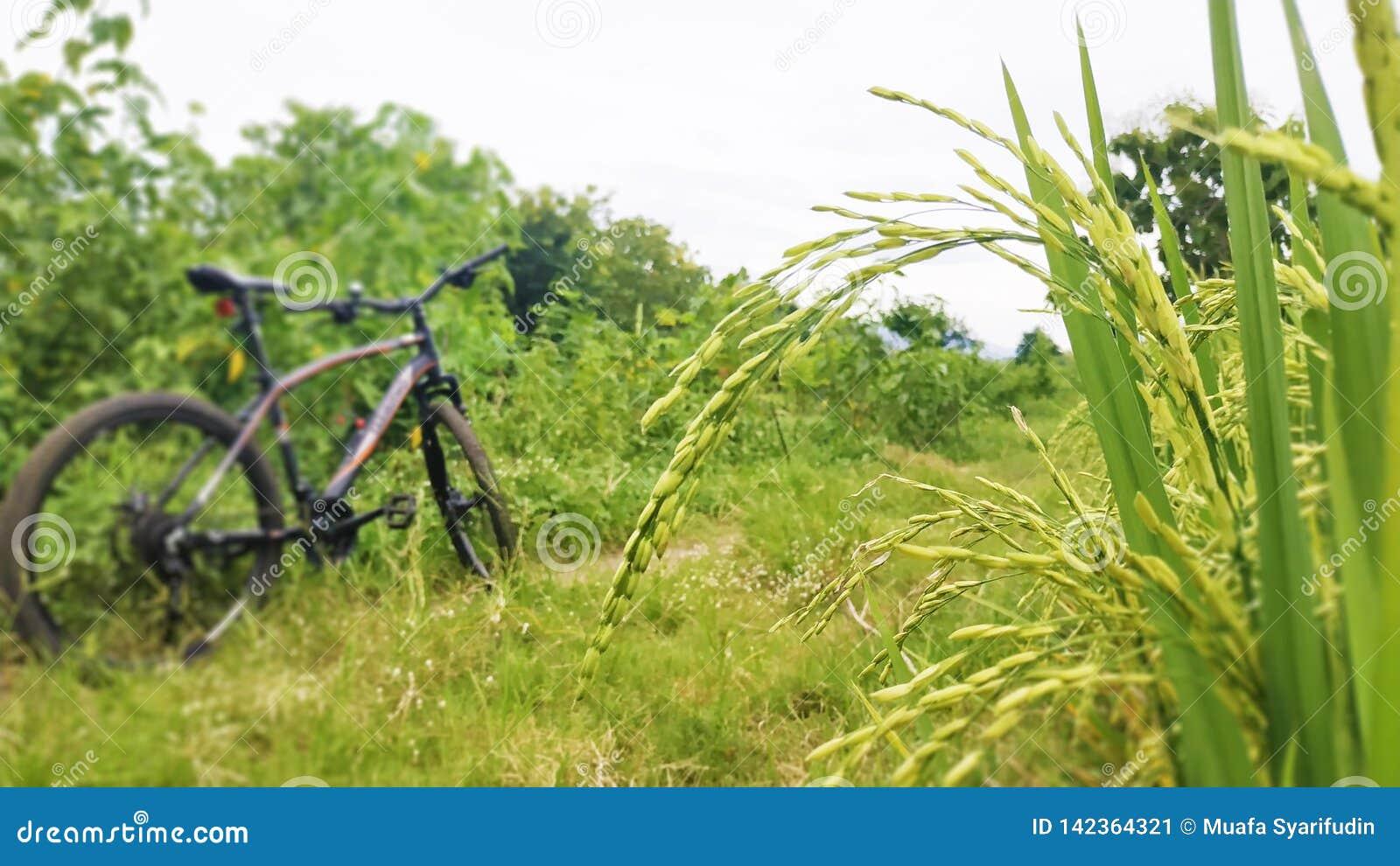Landschap in de padievelden met Fiets