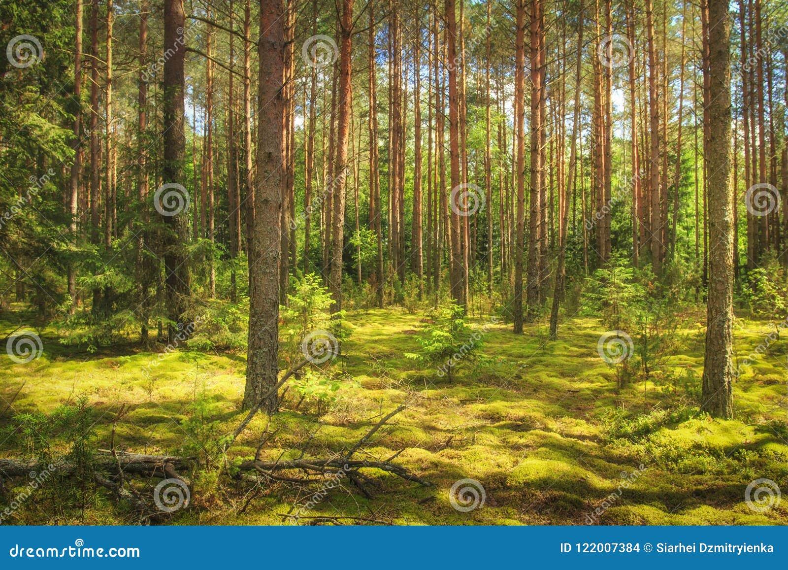 Landschap van het bos Groene de zomerbos in zonlicht Naaldbomen, mos ter plaatse