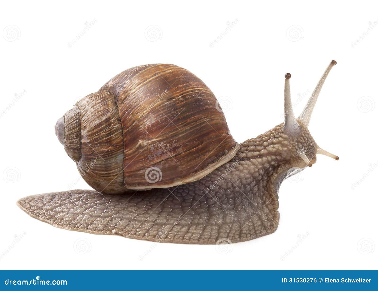 Landschnecke stockfoto bild von shell garten getrennt for Caracol de jardin alimentacion