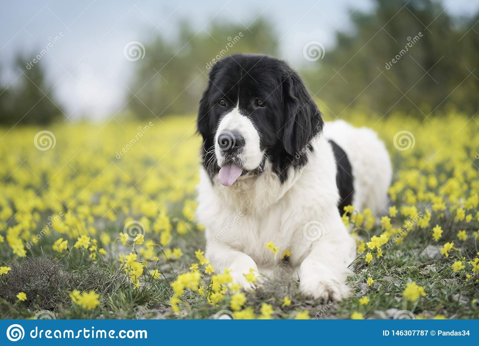 Landseer dog pure breed playing fun lovely puppy