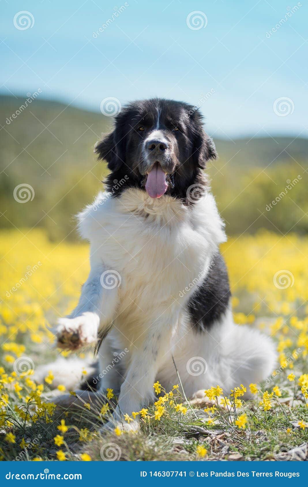 Landseer psi czysty traken bawi? si? zabawa uroczego szczeniaka