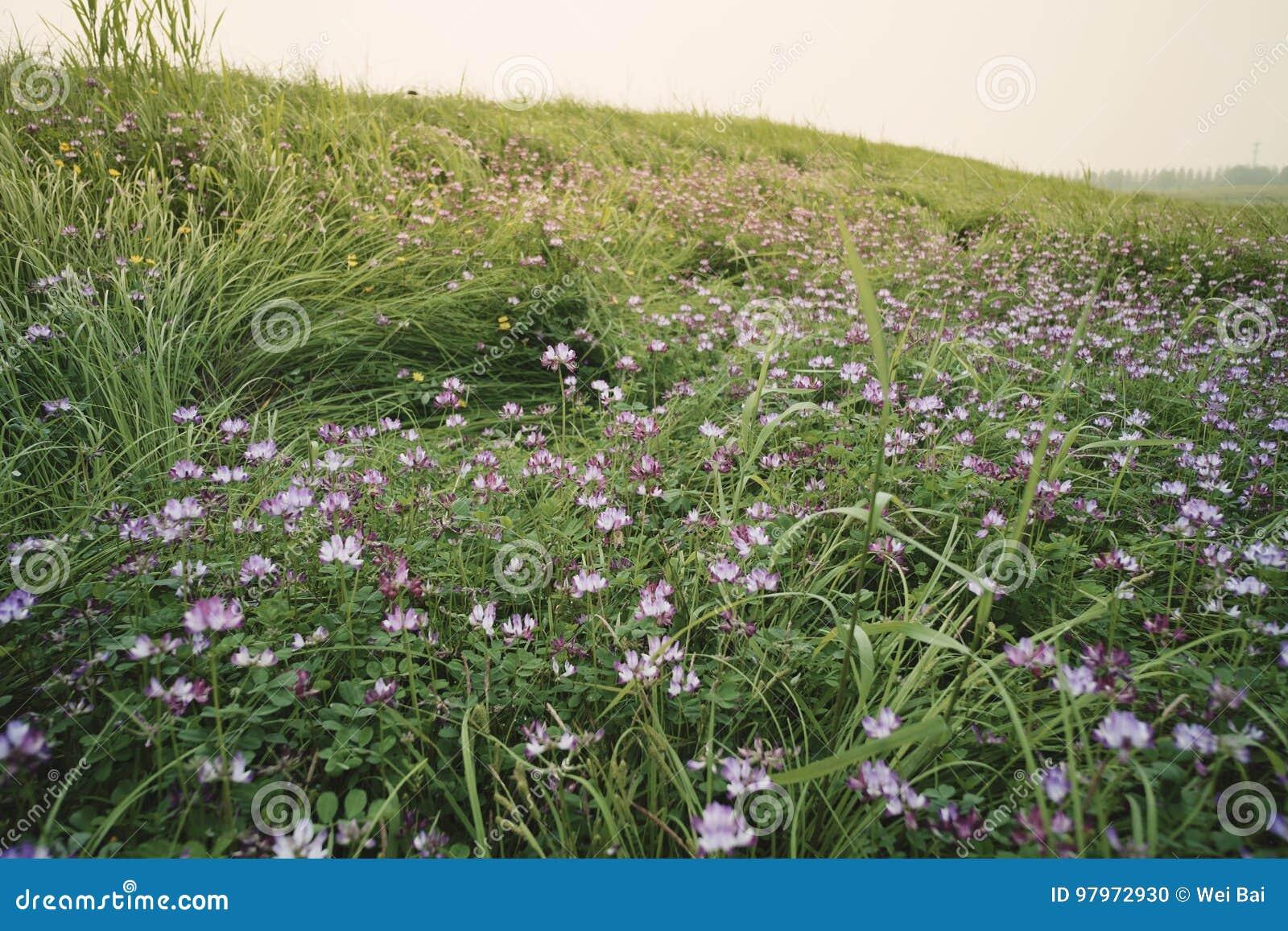 Landskap: En härlig gräslutning som täckas med alfalfa, blommar