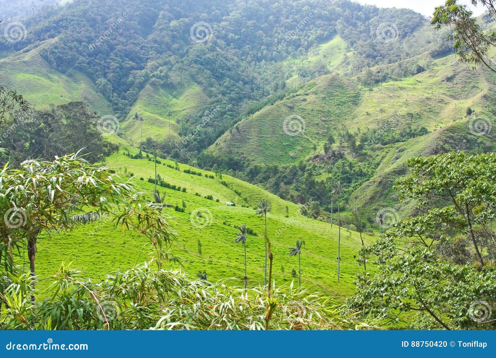 Landskapet i den Cocora dalen med vaxet gömma i handflatan, mellan mountaen