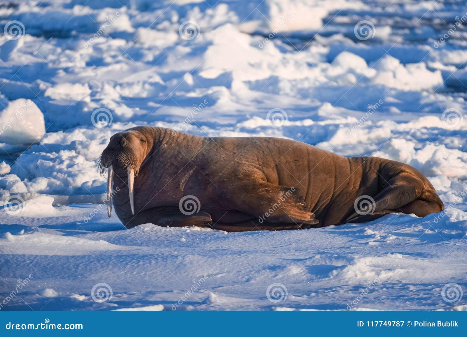 Landskapnaturvalross på en isisflak av dagen för Spitsbergen Longyearbyen Svalbard den arktiska vintersolsken