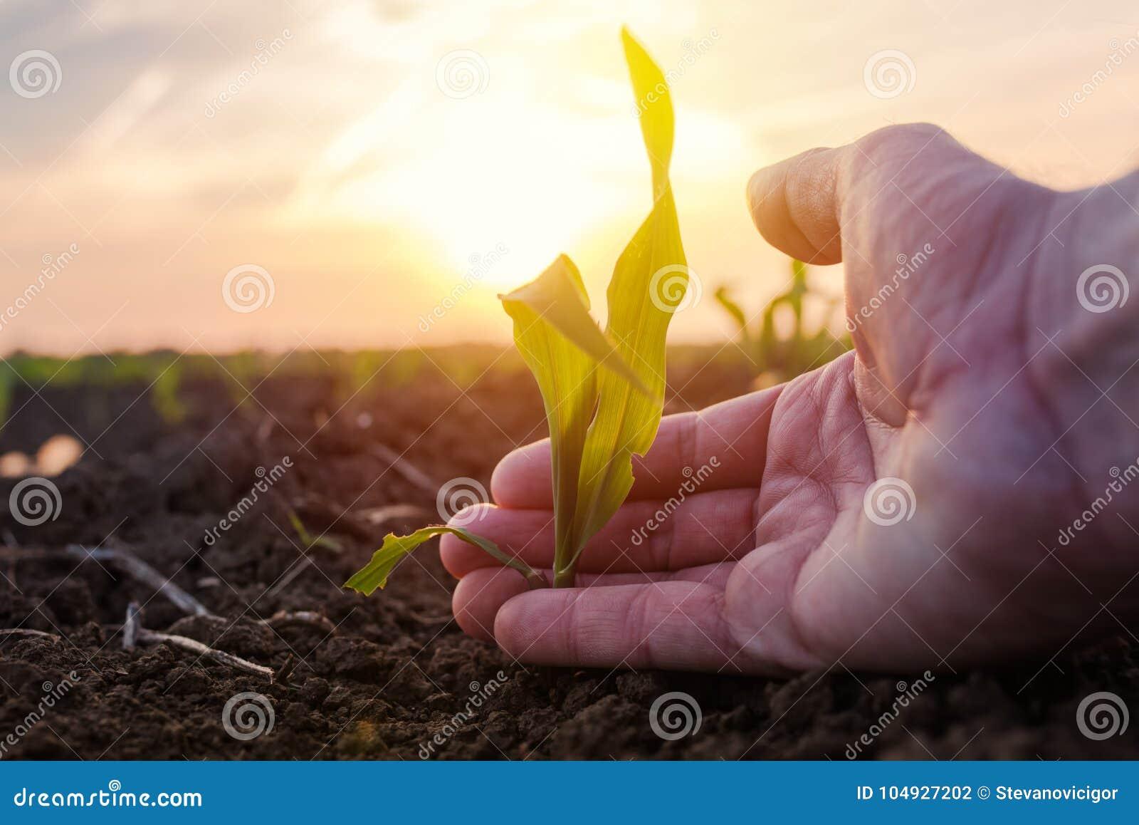 Landwirt, der junge Grünkernmais-Ernteanlage überprüft