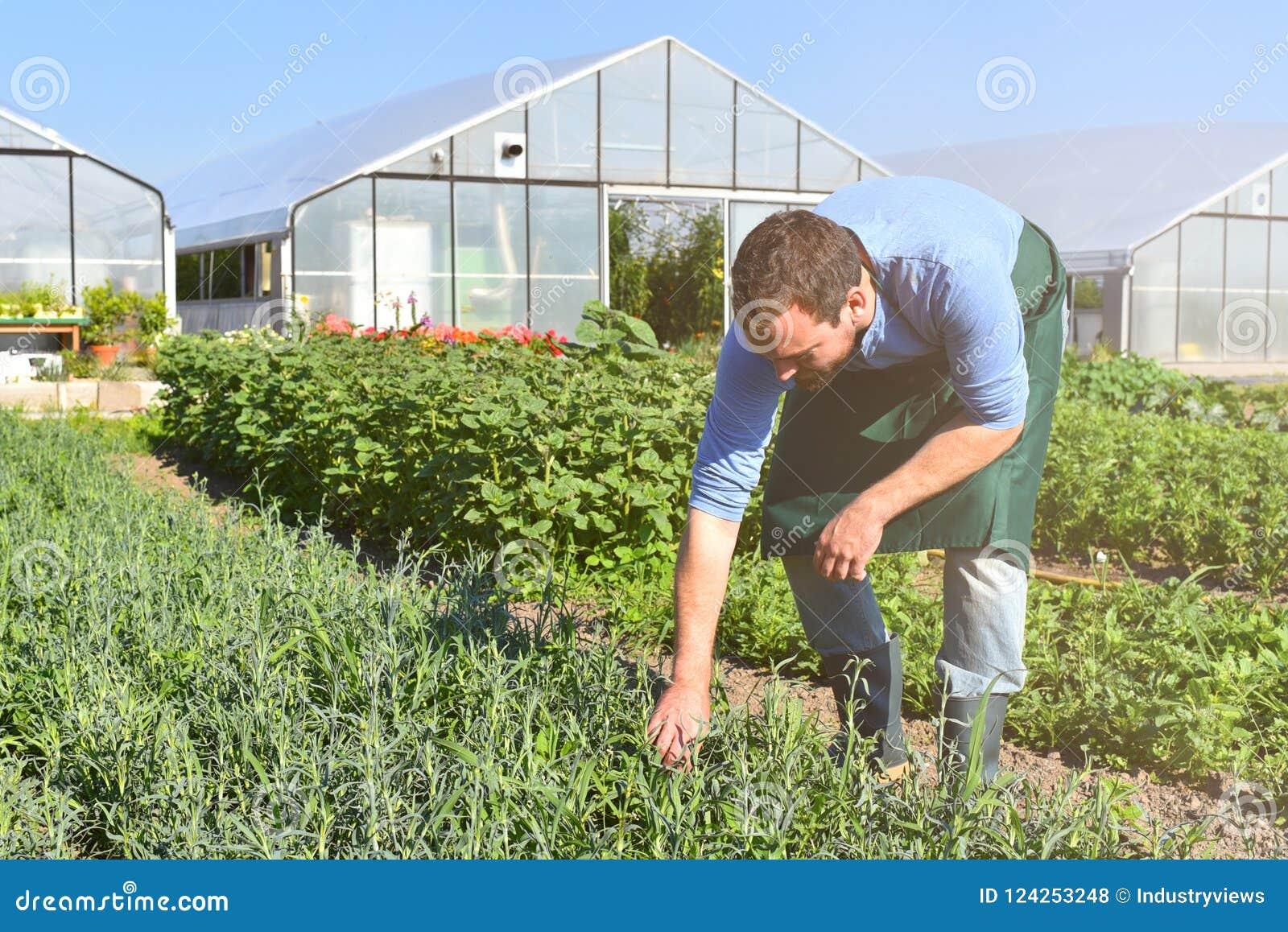 Landwirt in der Landwirtschaft, die Gemüse - Gewächshäuser im Th anbaut