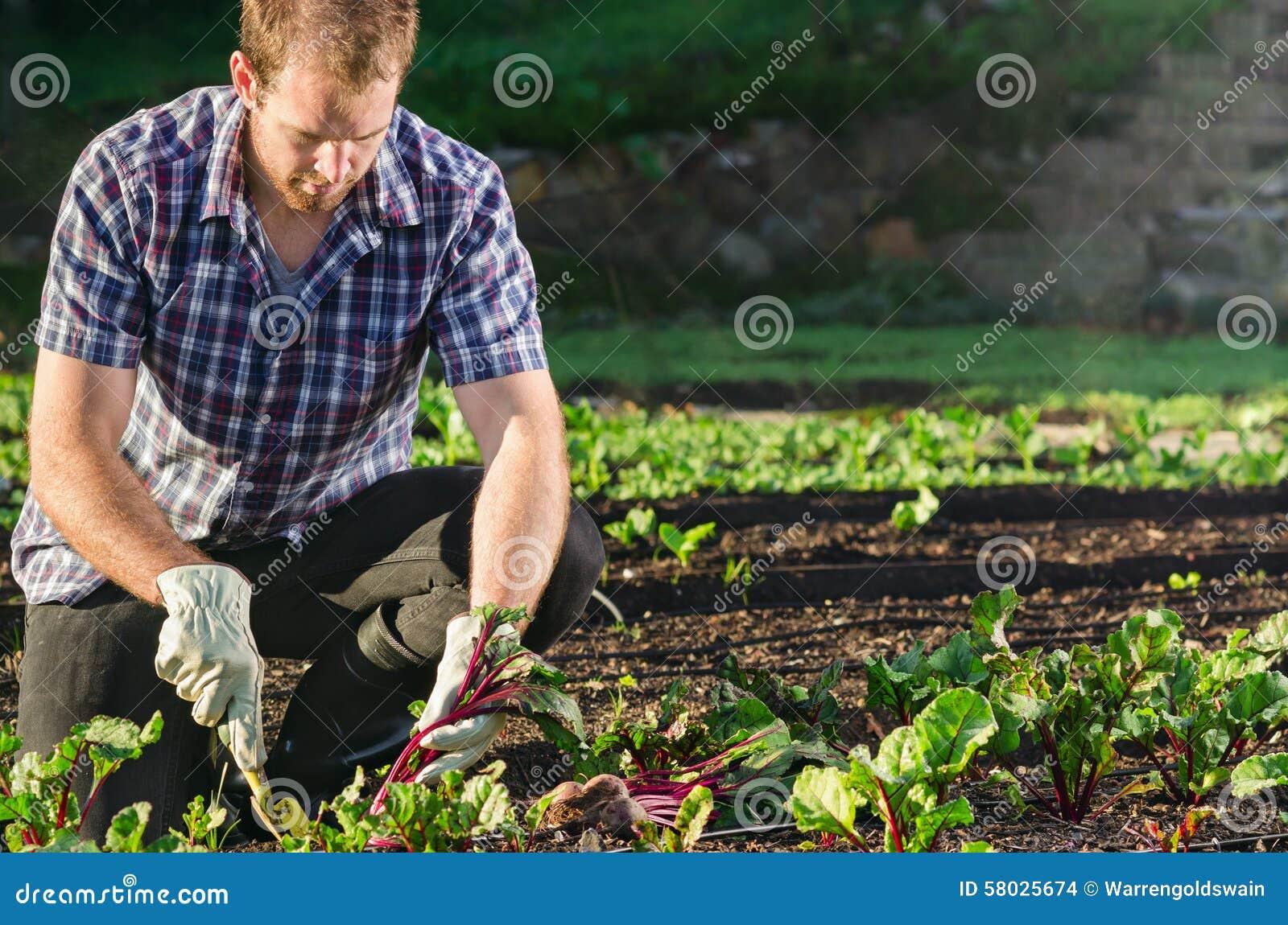 Landwirt, der Rote-Bete-Wurzeln im Gemüsefleckengarten erntet