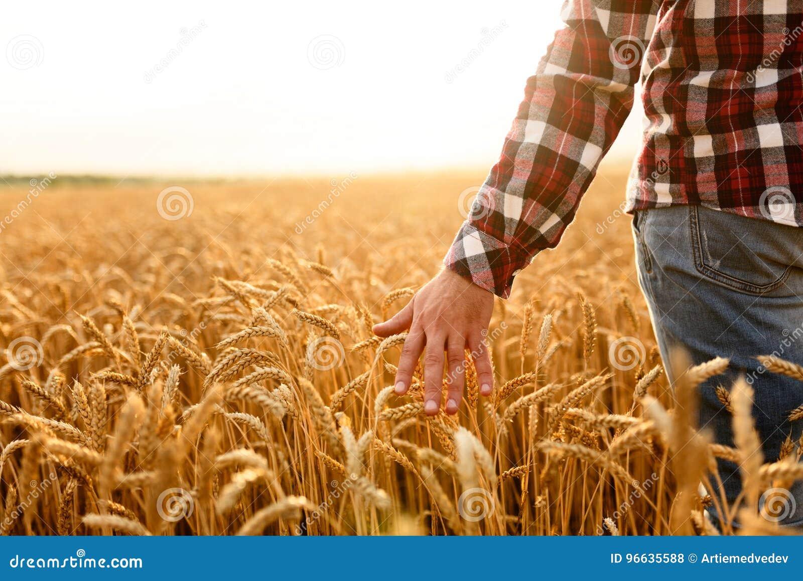Landwirt, der seine Ernte mit der Hand auf einem goldenen Weizengebiet berührt Ernten, Konzept der biologischen Landwirtschaft