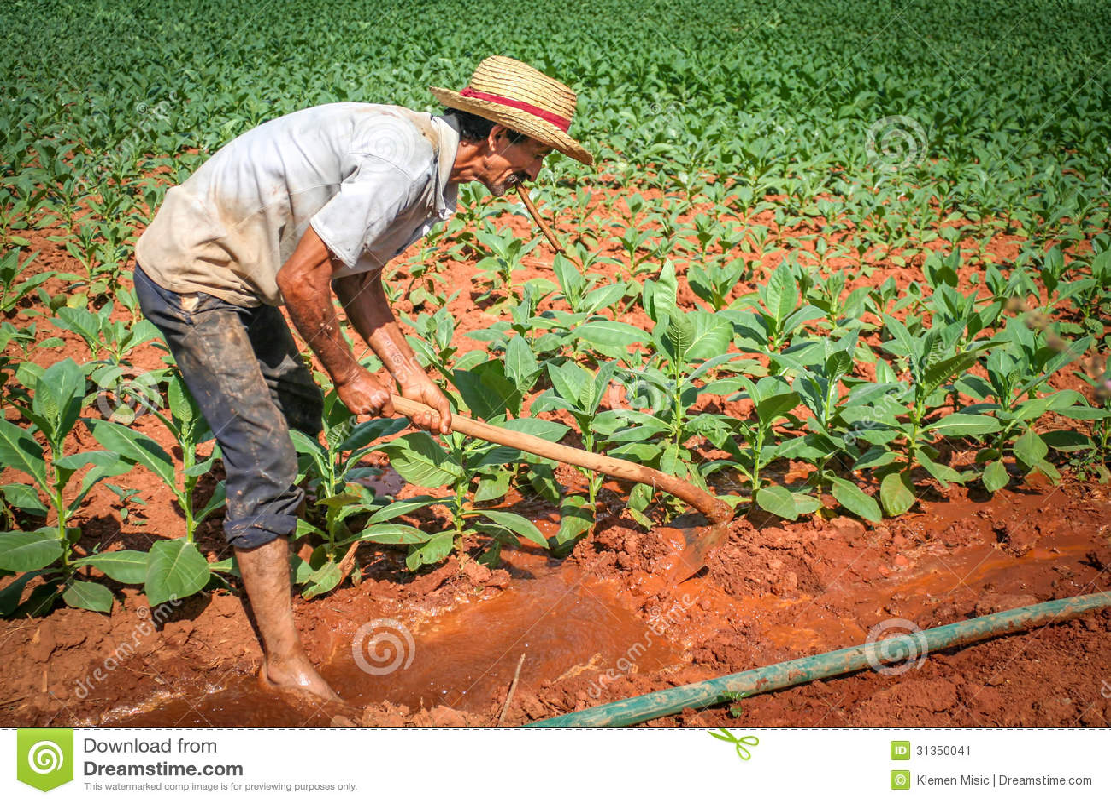Landwirt, der an seinem Tabakfeld in Vinales, Kuba arbeitet