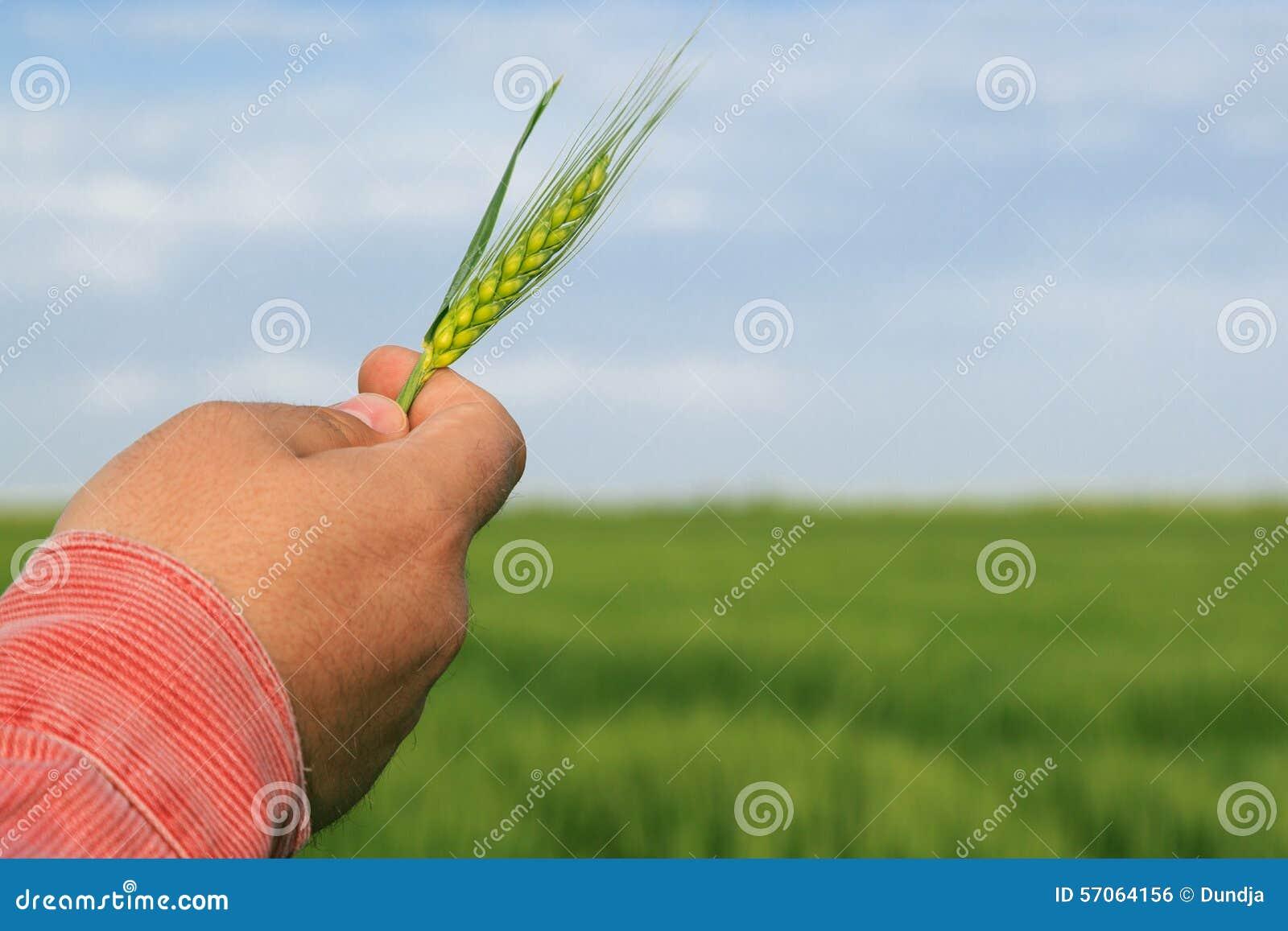 Landwirt, der Weizen in seiner Hand hält