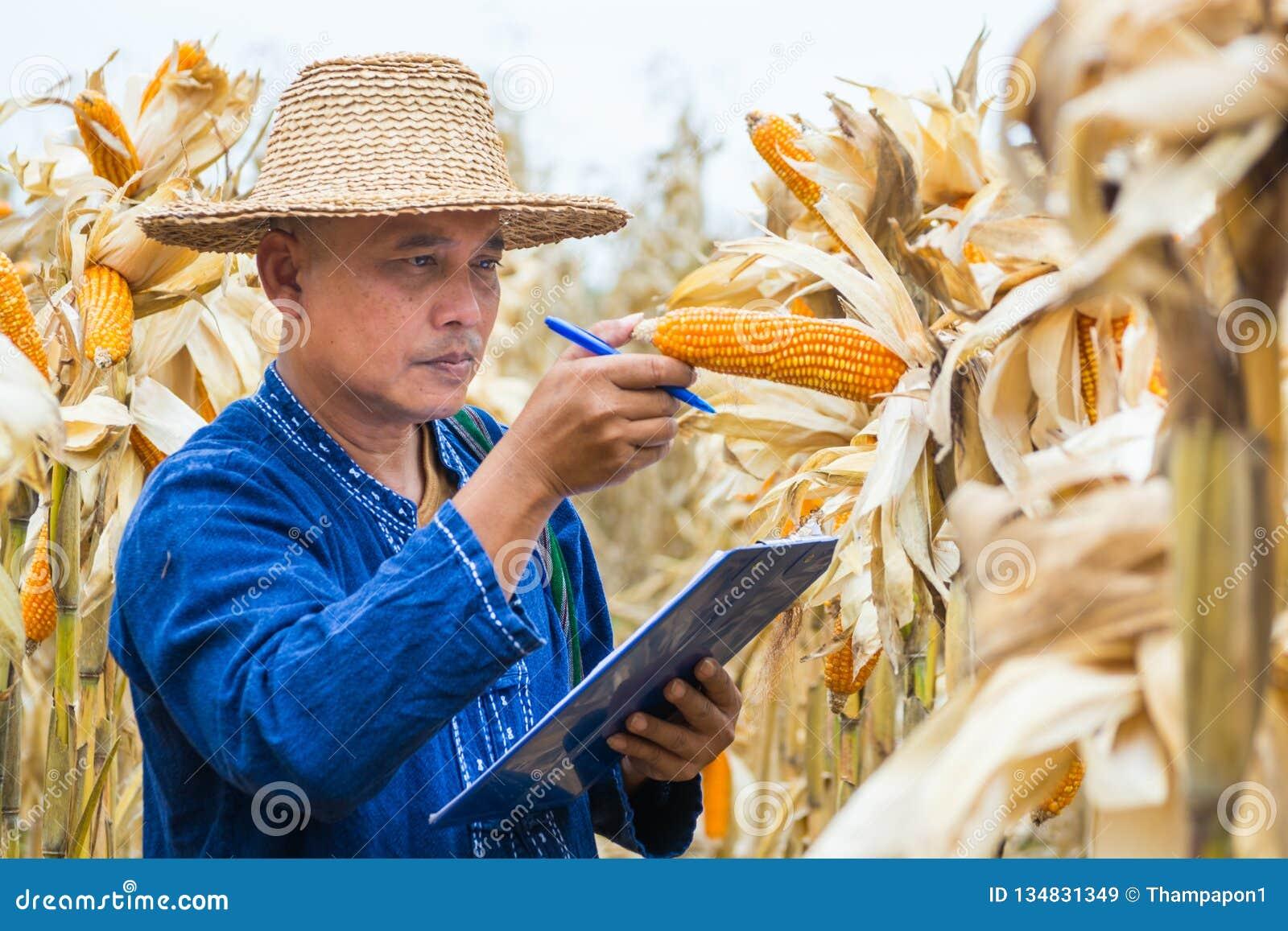 Landwirt oder Biologe kontrollieren Kontrolle oder analysieren und erforschen rohen Maiskolben