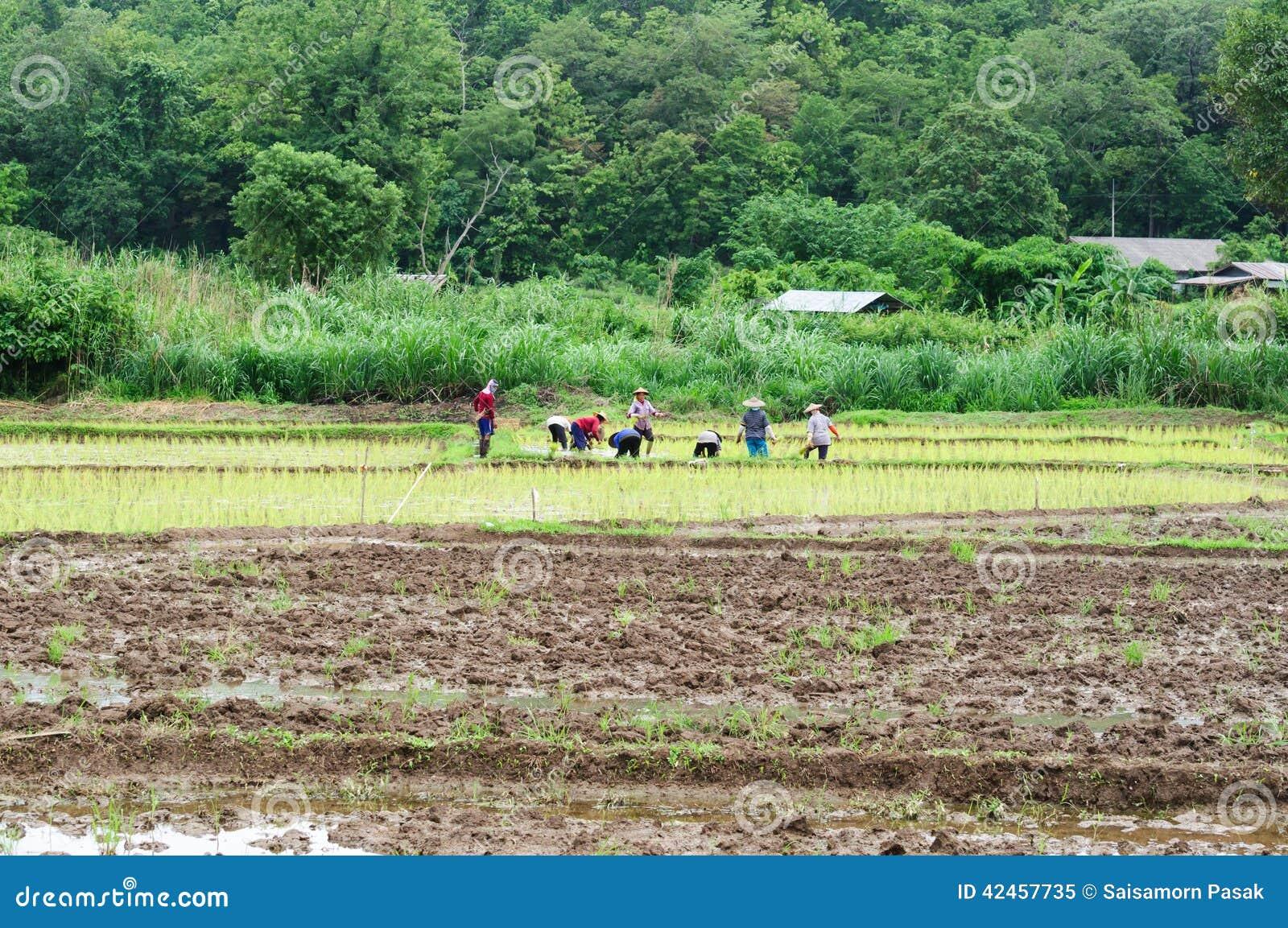 Landwirt tun die Reislandwirtschaft