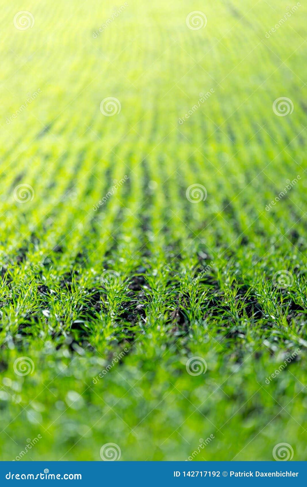 Landwirtschaftsfeld mit, fruchtbare frische Grünpflanzen
