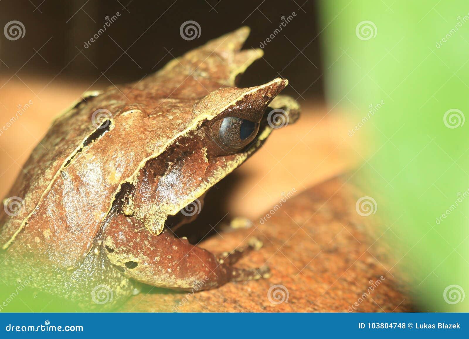 Lang-besnuffelde gehoornde kikker