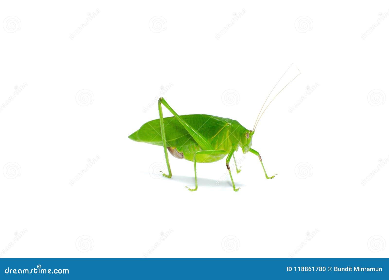Lang-Gehoornde die Sprinkhaan van de Katydid de Groene Sprinkhaan op witte achtergrond wordt geïsoleerd
