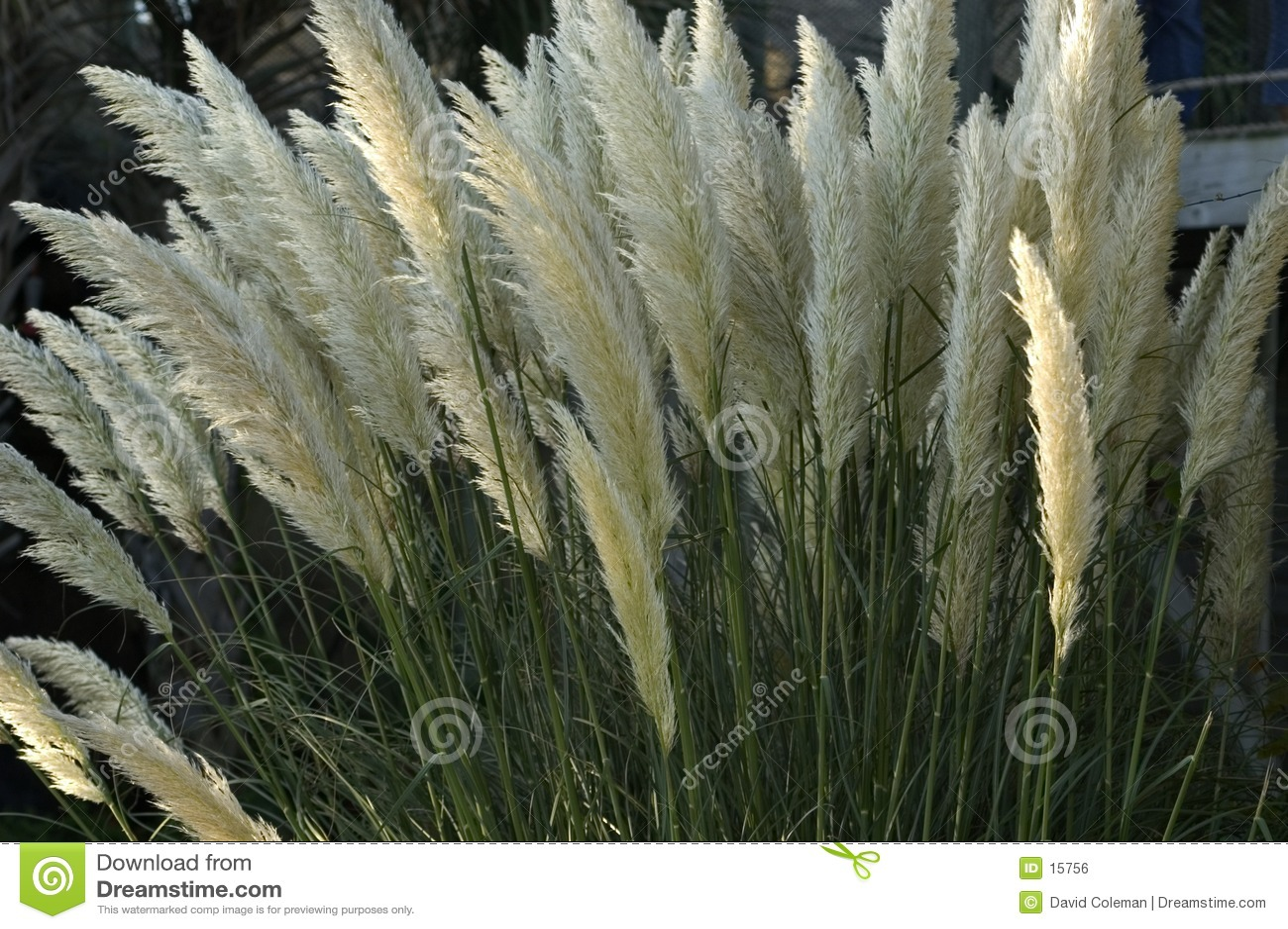 Lang Gras in Bloei