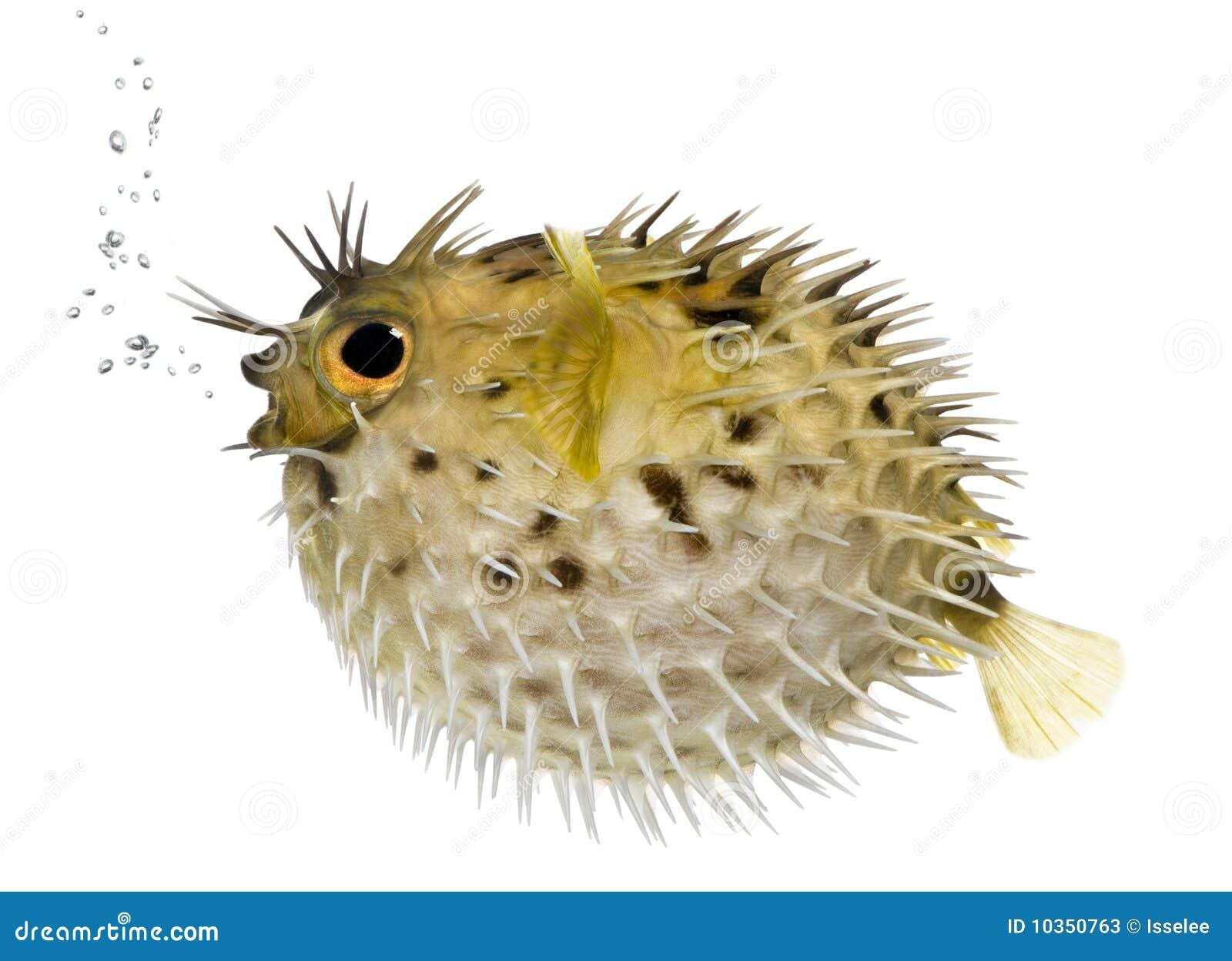 Lang-stekel porcupinefish