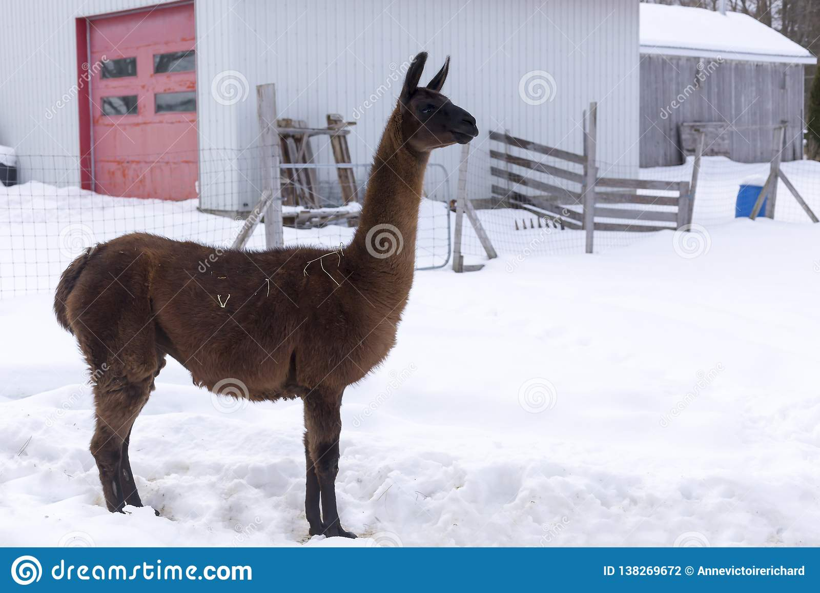 Lange bruine lama die zich trots in profiel in geschermde pen bevinden
