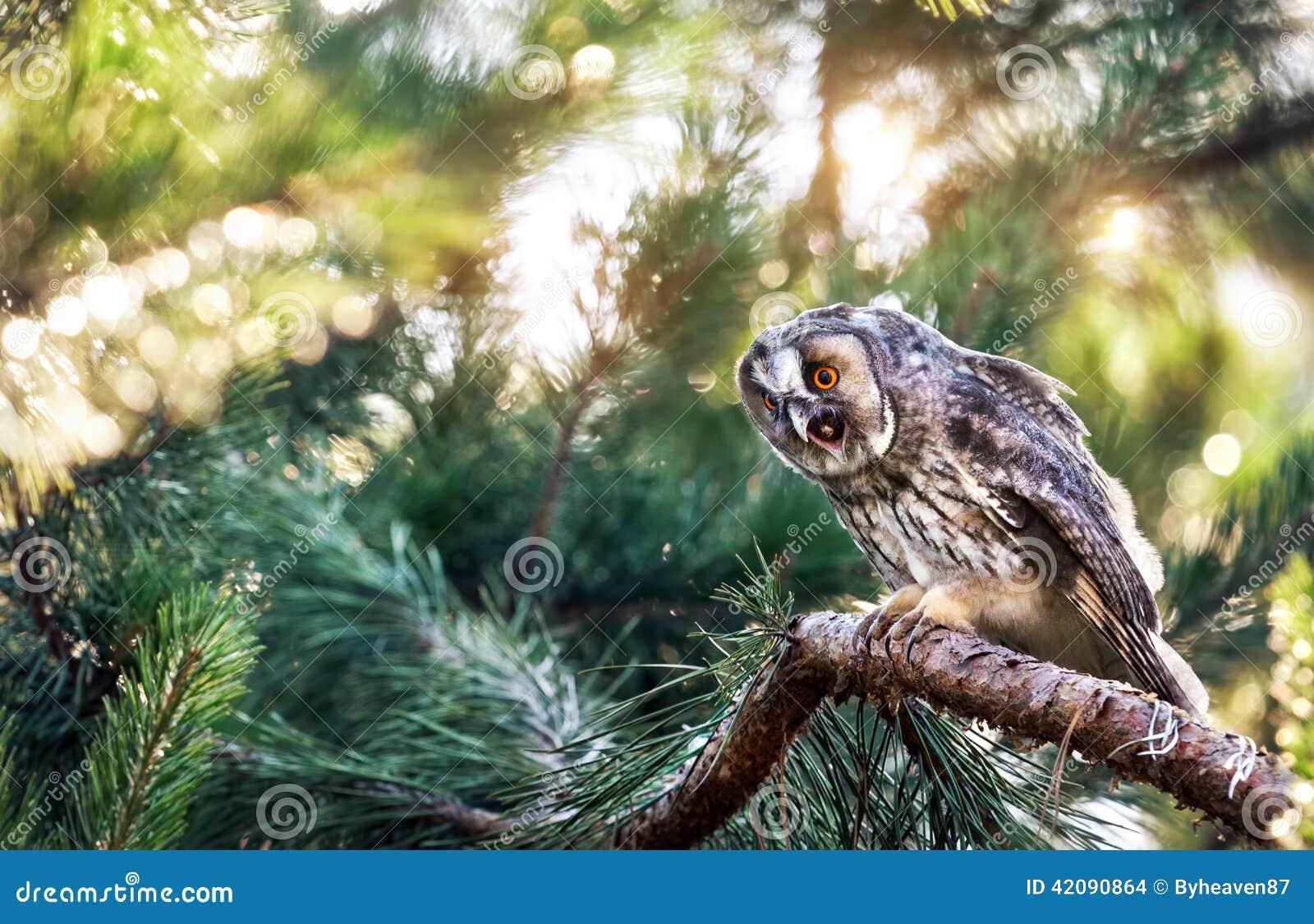 Lange eared uil in het bos